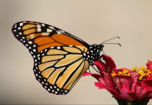 Butterflies with Custer State Park @ Custer Elementary School @ Hermosa Library